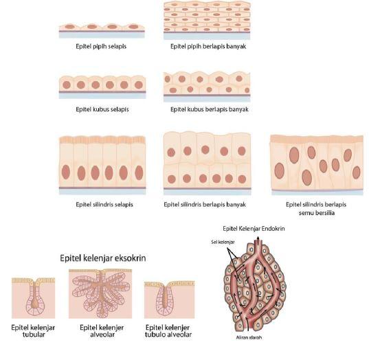 Gambar 1. Jenis-jenis jaringan epitelium www.edubio.info