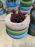 Eco Huerto con neumáticos y lechugas. Benarrabá AEA Bosque Animado