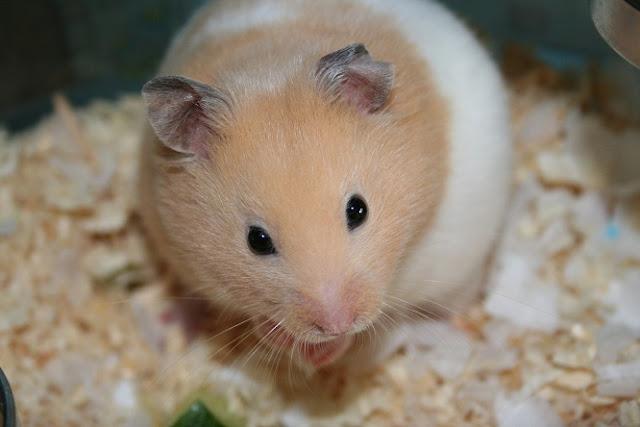 Bán Hamster Bear giá rẻ