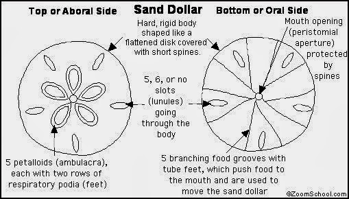 photo relating to Legend of the Sand Dollar Poem Printable called Legend Of The Sand Greenback Coloring Web site Coloring Internet pages