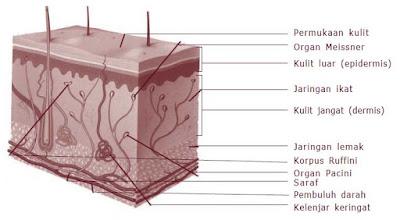 Penyakit, Gangguan dan Kelainan pada Sistem Ekskresi Manusi  Apa yang terjadi ketika organ-organ sistem urin seseorang tidak bekerja dengan baik? Zat-zat sampah yang tidak dikeluarkan akan menumpuk dan menjadi racun di dalam sel-sel tubuh. Selain itu, air juga akan tertimbun dan menyebabkan pembengkakan kaki.   Air ini dapat juga menumpuk di sekitar jantung. Bila terjadi gangguan pengeluaran air bisa terjadi ketidakseimbangan jumlah garam-garam tubuh. Ketidakseimbangan ini ditanggapi tubuhdengan mengembalikan keseimbangannya. Jika masih juga tidak terjadi keseimbangan, ginjal dan organorgan lain bisa rusak. Mengapa demikian?  Terdapat beberapa kelainan/penyakit yang diakibatkan oleh kelainan struktur maupun fungsi sistem ekskresi, antara lain nefrosis, nefritis, sistisis, polisistik, dan gagal ginjal  Nefrosis  Nefrosis adalah kondisi di mana membran glomerulus bocor, meyebabkan sejumlah besar protein keluar dari darah menuju urin. Air dan natrium berakumulasi dalam tubuh menyebabkan edem, khususnya di bagian pergelangan kaki, kaki, perut, dan mata. Nefrosis umumnya terjadi pada anak-anak.  Nefritis glomerulus  Nefritis glomerulus adalah radang membran filtrasi glomerulus di dalam korpuskulum renalis. Penyebab radang secara umum adalah reaksi alergi terhadap racun yang dilepaskan oleh bakteri streptococcus yang menginfeksi bagian tubuh lain, khususnya tenggorokan.   Penyakit ini ditandai dengan kenaikan permeabilitas membran filtrasi dan akumulasi sel-sel darah putih di daerah membran filtrasi. Akibatnya, sejumlah besar protein plasma memasuki urin. Keberadaan protein plasma meningkatkan tekanan osmotik filtrat urin, sehingga volume urin meningkat dan menyebabkan gagal ginjal.  Pielonefritis  Pielonefritis adalah radang seluruh bagian ginjal. Kerusakan ini sering dimulai dengan infeksi bakteri pada pelvis ginjal dan kemudian melebar ke bagian utama ginjal.  Sistisis  Sistisis adalah radang kantung kemih terutama bagian mukosa dan sub mukosa. Sistisis bisa disebabkan
