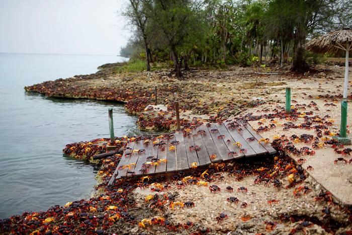 Crab migration in Cuba