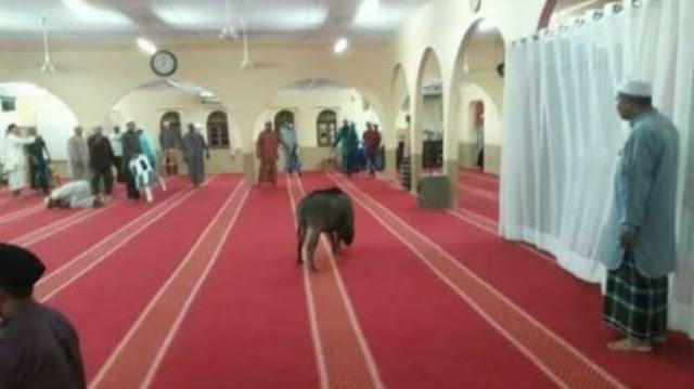 Seekor Babi Mengamuk di dalam Masjid