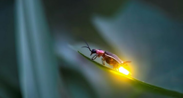Human activities are responsible for the gradual disappearance of fireflies
