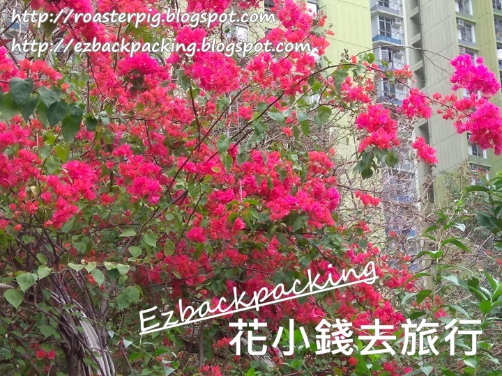 香港簕杜鵑