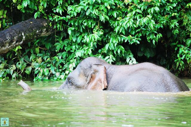 Elefante pigmeo en Kinabatangan, Borneo