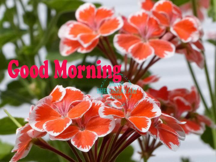 Good Morning Greetings With Geranium Flowers