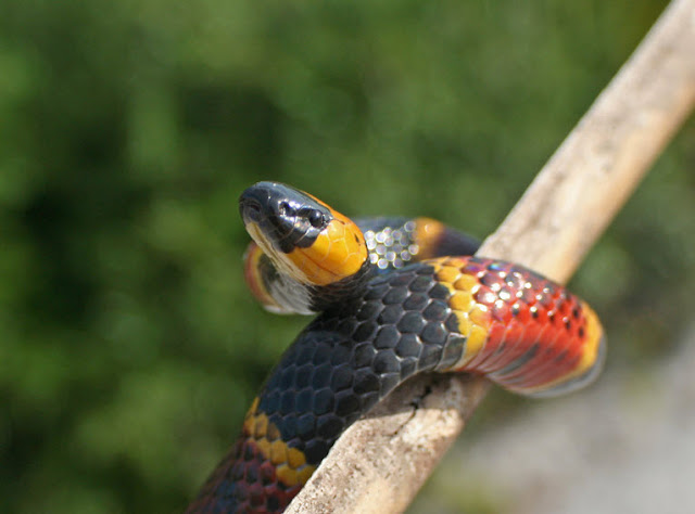 Eastern Coral Snake - Facts, information and pictures 1