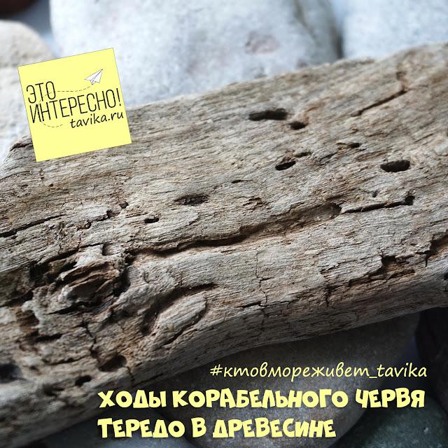 корабельный червь тередо в Черном море