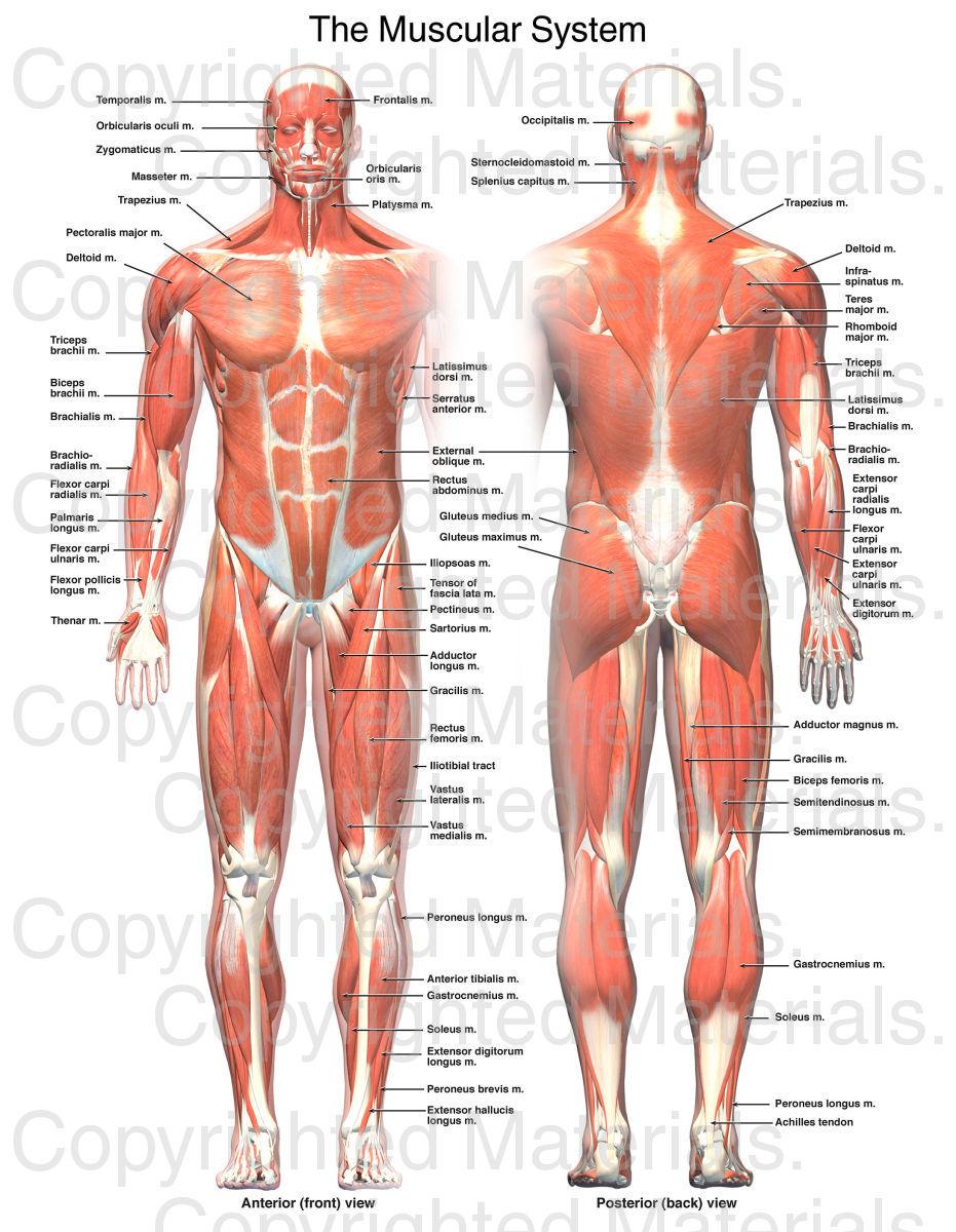 diplomado visita medica sistema.osteomuscular anatomia | DIPLOMADO ...