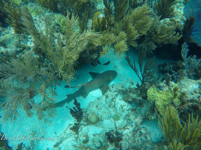 Nurse shark, Sandy Cay, Abacos, Bahamas