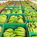 Bom Jesus da Lapa: Abertura do Mercado para o México tem influenciado na queda de preço da banana no Projeto Formoso
