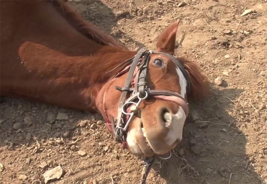 lazy horse