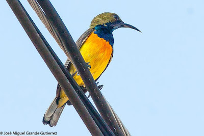 Cinnyris jugularis - Olive-backed Sunbird