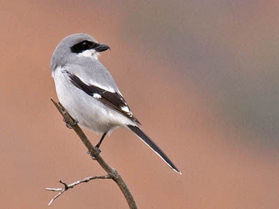 Photo of Loggerhead Shrike on twig