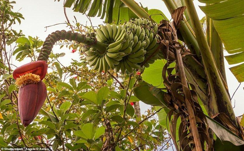 Flor del árbol de plátano - Trópico