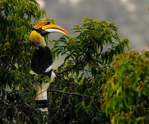 Great hornbill photos