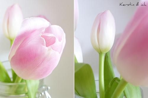 Rosa Tulpen Nahaufnahme