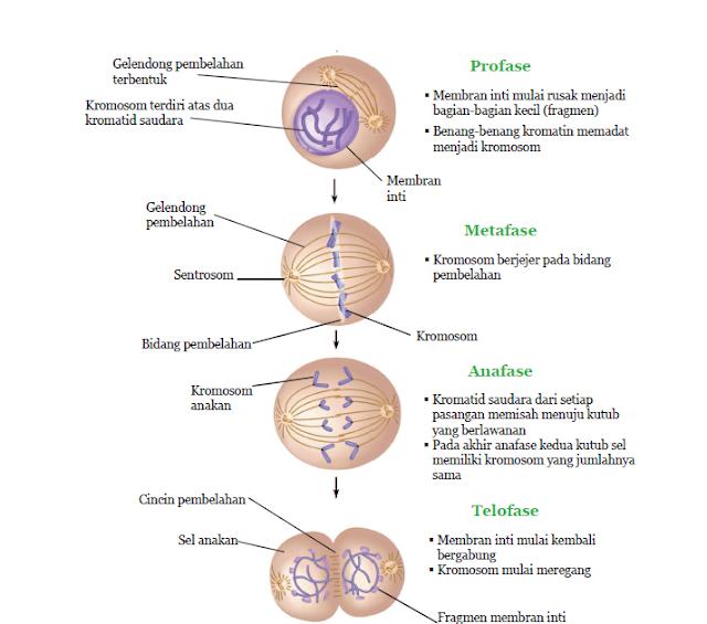 fase-fase pembelahan mitosis.png