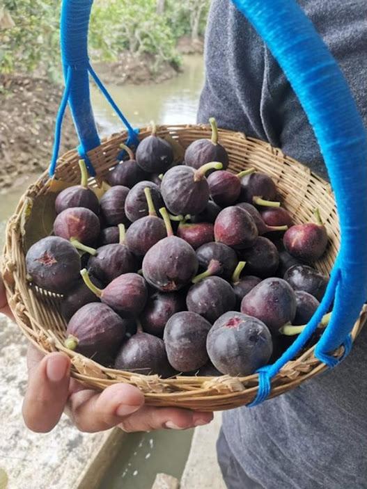 bibit buah tin fresh cangkok berbagai jenis Jakarta