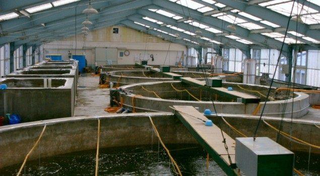 Syarat Pembenihan Ikan Patin - Tempat penampung larva