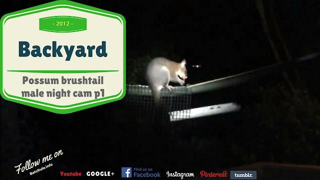 Backyard | Possum | Brush tail male night cam p1