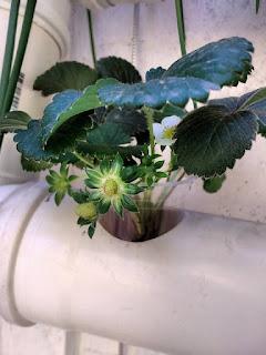 Huertas hidropónicas para fresas