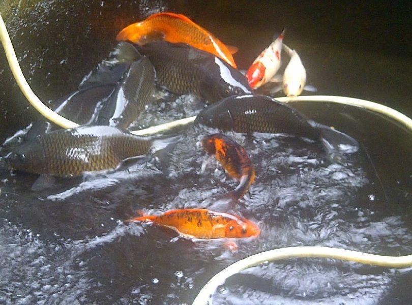 Jenis Ikan Mas