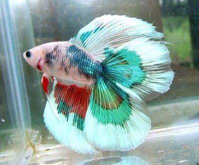 Cara Mudah Budidaya Ikan Cupang