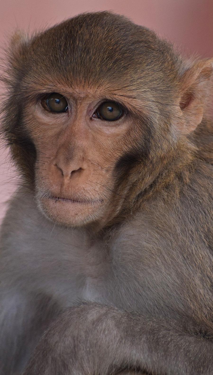Portrait face of a monkey.