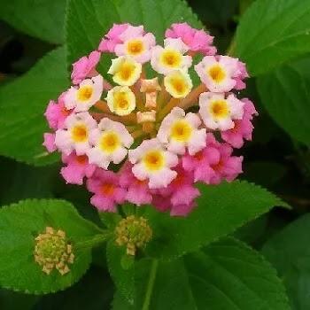 घाणेरी, Lantana Camara Flowers Name In Marathi