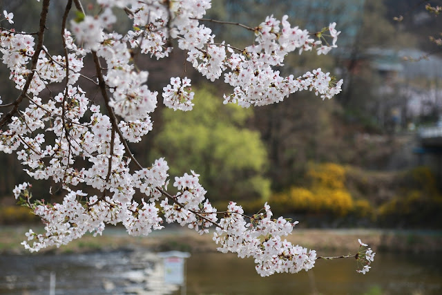 Wallpaper cantik gambar bunga sakura