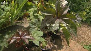 Ricinus Communis Castor Oil Plants