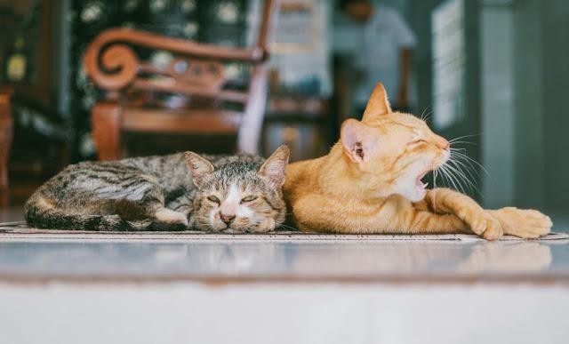 Merawat Kulit Kucing dari Ketombe