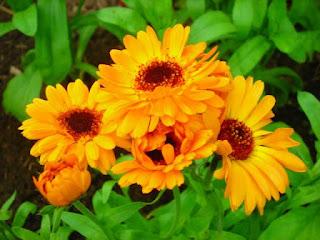 Цветок имени Надежда - календула