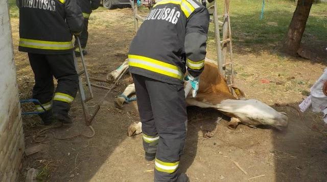 Egy tehén beszorult lábát szabadították ki a ceglédi tűzoltók