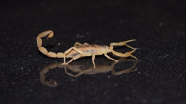 Escorpión mortífero pica varias veces a bebé recién nacida y esta sobrevive