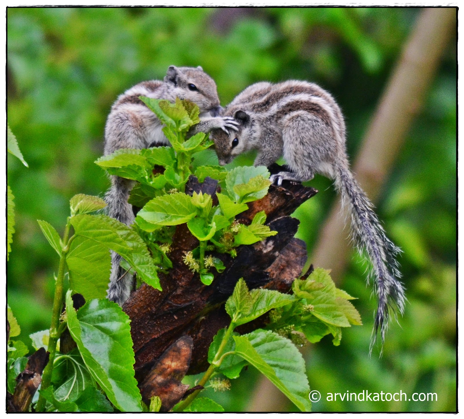 Indian Palm Squirrels, Showing Love, Squirrels