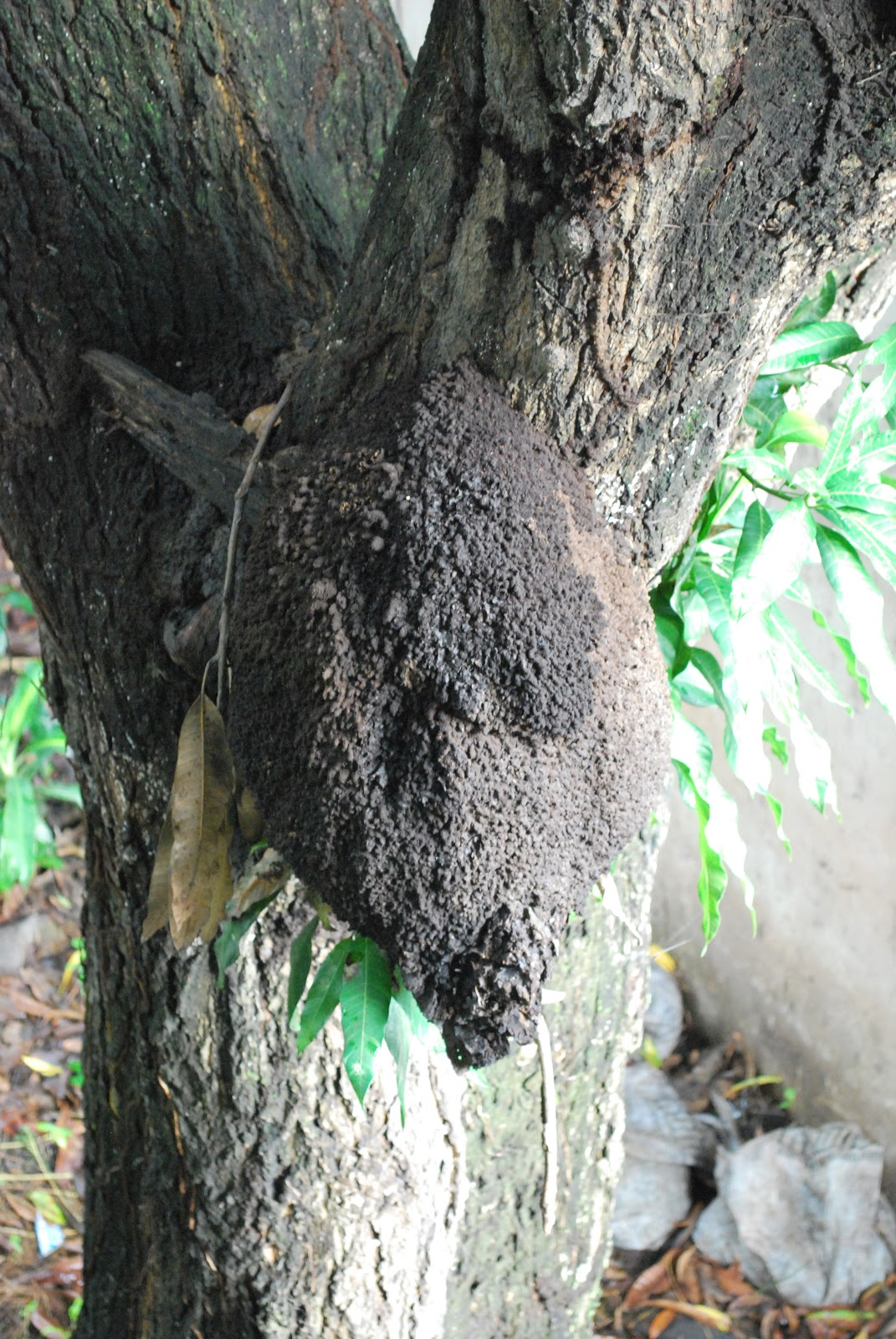 Humboldtina Venezuela Termiten Isoptera Comej 233 N