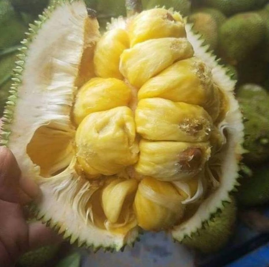 Bibit nangka mini Jawa Tengah