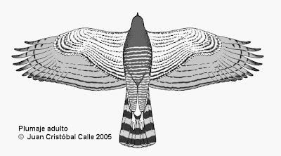 Gavilán común Buteo Rupornis magnirostris