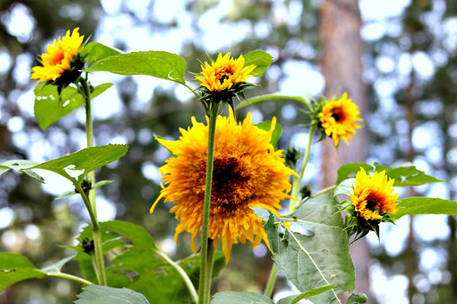 Flowers, sunflowers, flowerfarm, growingflowers, jemma