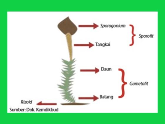 bagian tubuh tumbuhan lumut terdiri dari batang, tangkai, daun dan sporangium