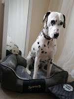oversided Dalmatian chester dog bed