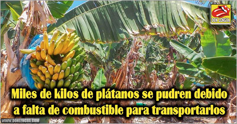 Miles de kilos de plátanos se pudren debido a falta de combustible para transportarlos