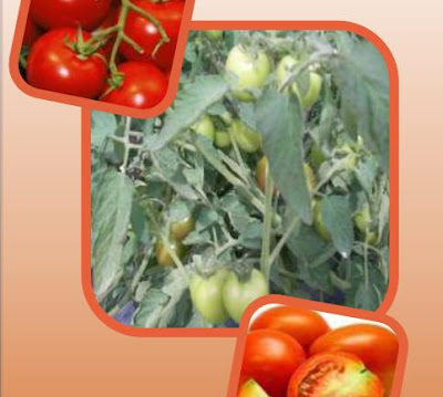 leaflet biudidaya tomat