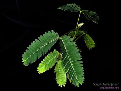 Dormideira ou Sensitiva - Mimosa pudica