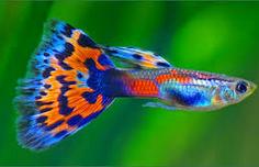 Cara Merawat Ikan Hias Guppy