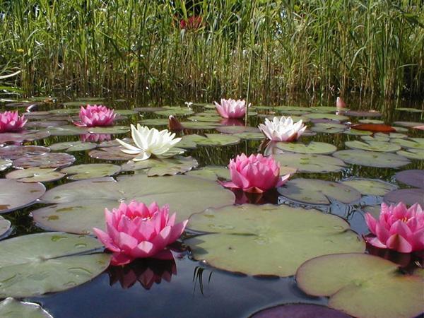 Blomstervenners klubb for Planter til koidam