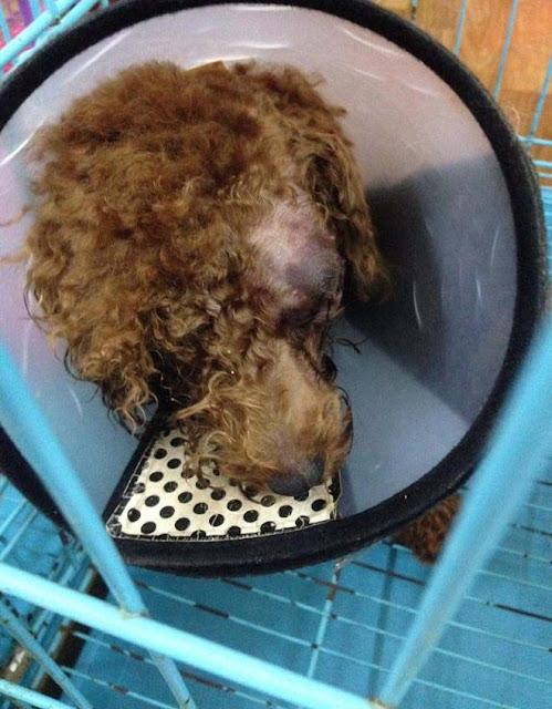 Chú chó bị bạn cùng phòng đánh đến chột mắt chỉ vì…tè bậy